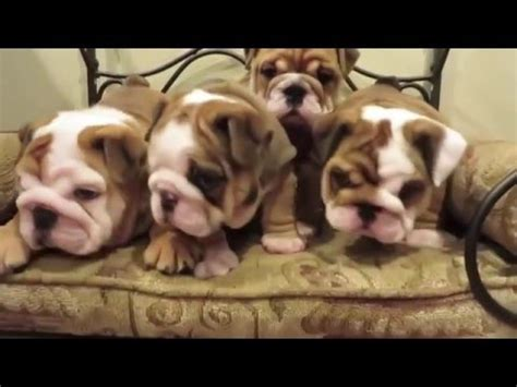 puppy compilation bulldogs are awesome funnycat tv