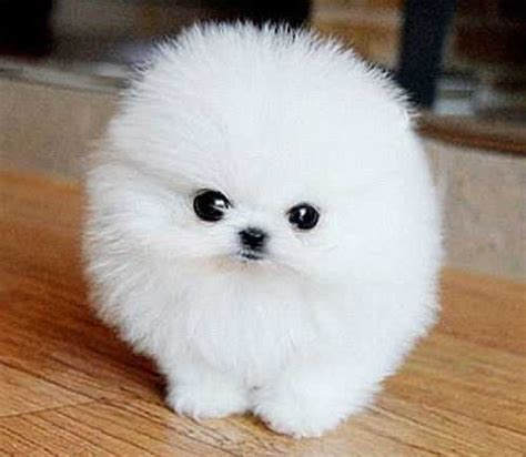 where to get pomeranian puppies pets