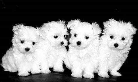 four dogs four indian maltese puppies dogs picture