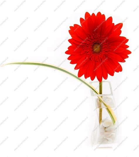 Weiß Rot by Rot Wei 195 194 Rosa Gerbera Blumen Abschluss Oben Desktop