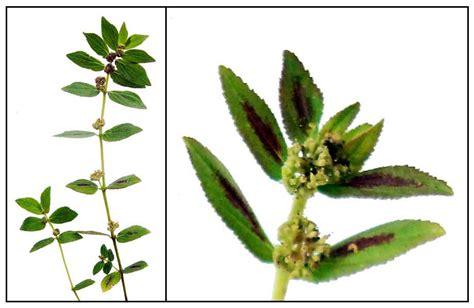 Colour Purple by Gatas Gatas Botobotones Asthma Weed Euphorbia Hirta