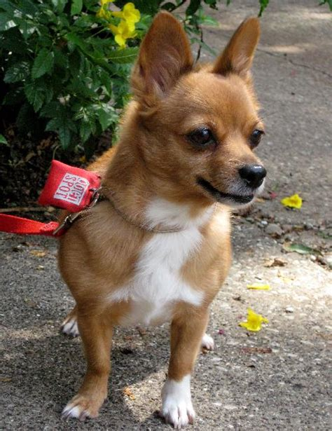 pomeranian hair chihuahua mix chihuahua coat mix breeds picture
