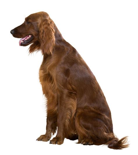 irish setter dog hiking irish setter dogs breed information omlet