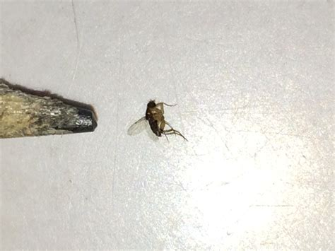 Small Flies In Kitchen Sink Unique Small Flies In Bathroom Sink Indusperformance