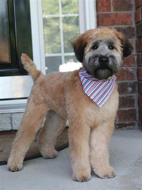 wheaten terrier cuts mickey s first real haircut haircuts wheaten terrier