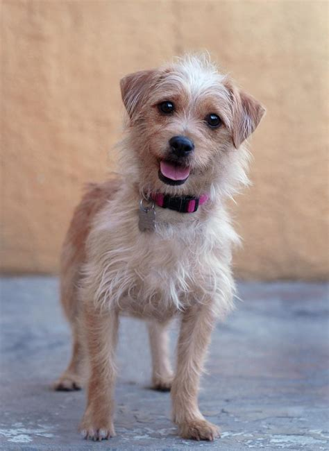 how to a terrier mix mixed terrier breeds www imgkid the image kid has it