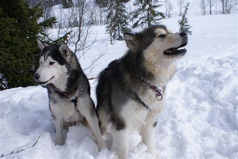 alaskan husky alaskan malamute vs siberian husky