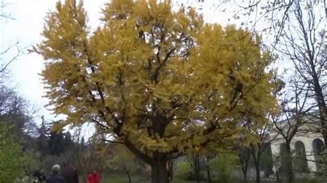 baum im garten pflanzen 2760 der ginkgo baum im botanischen garten sch 246 nbrunn herbst