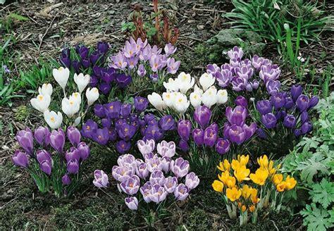 fiore crocus crocus conseils de plantation et entretien