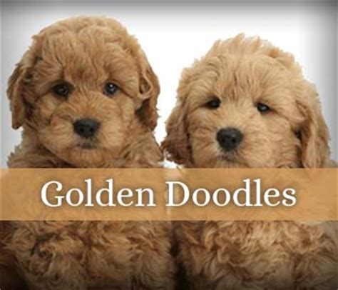 golden retriever breeders san antonio miniature poodle puppies san antonio photo