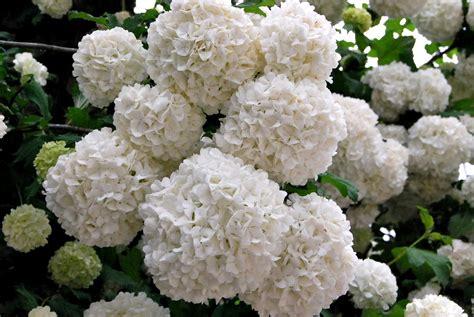 imagenes de hortencias blancas fotos de flores arbusto de flores enormes