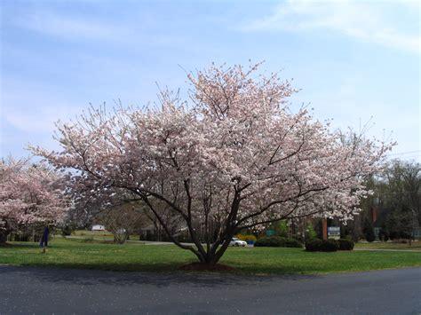 cherry tree yoshino yoshino cherry trees blooming in diana digs dirt