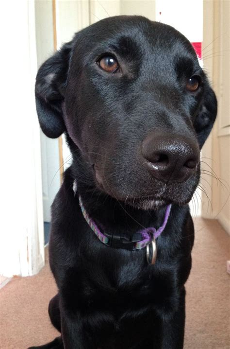 10 month puppy black labrador cross 10 month puppy yateley hshire pets4homes