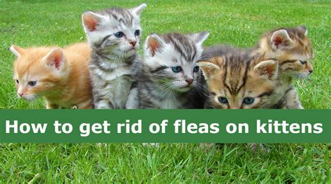 how to get rid of fleas on how to get rid of fleas on kittens flea treatments