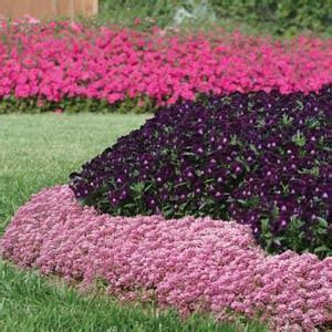 is an easter a perennial easter bonnet pink alyssum