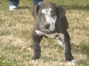 great dane puppies for sale illinois great dane puppies for sale