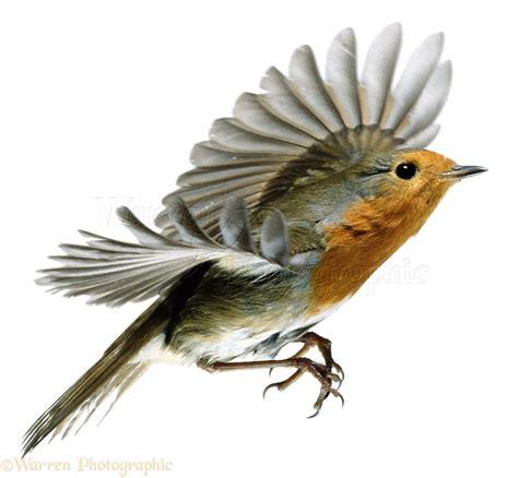 robin in flight photo wp01070