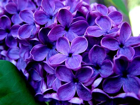 plant with purple flowers all photos gallery purple flower pictures pictures of