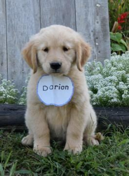golden retriever puppies for sale in lancaster pa 17 best images about animals on pets puppys
