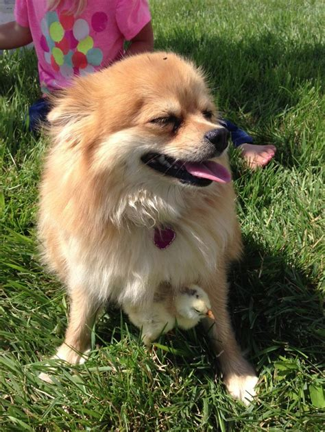 types of pomeranian types of pomeranian faces breeds picture