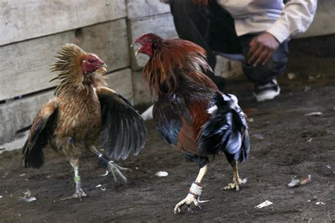 peleas de gallos pin images gallos pelea americanos albany jmc wallpaper on