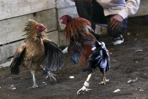 gallos d pelea pin images gallos pelea americanos albany jmc wallpaper on
