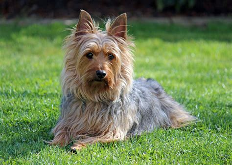 terrier puppies silky terrier puppies rescue pictures information temperament characteristics