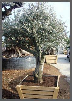 Bonsai Boom Onderhouden by Mediterrane Bomen Producten De Olijfgaard