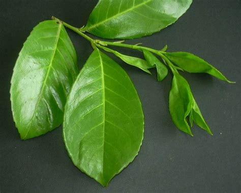 lauroceraso in vaso lauroceraso malattie malattie delle piante quali sono