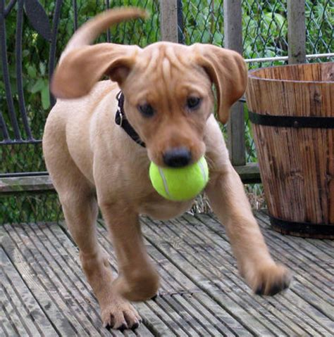 vizsla golden retriever mix for sale beagle vizsla mix breeds picture