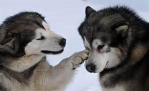 Husky siberiano cuidados dog breeds picture