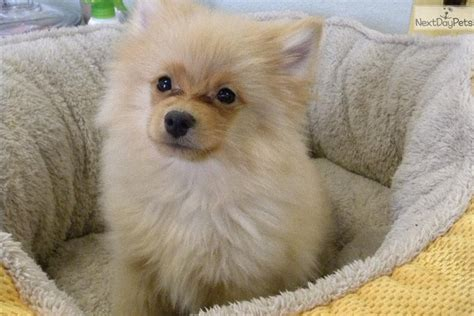 miniature teddy pomeranian puppies images of yorkie miniature puppy for sale in johannesburg breeds picture