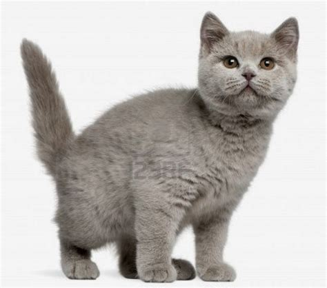 Kucing Shorthair kucing shorthair pets lover indonesia