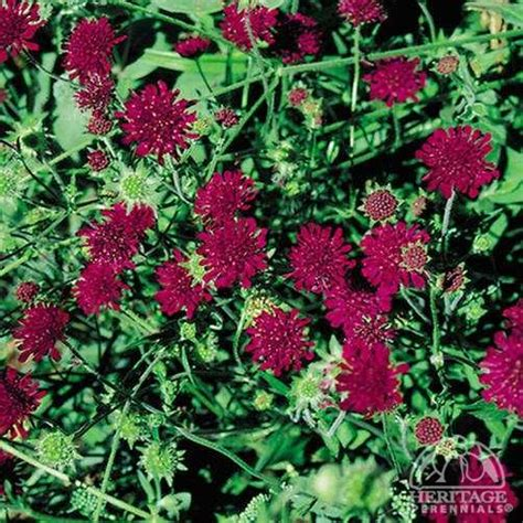 garden resources and trends fall blooming perennials plant profile for knautia macedonica crimson scabious