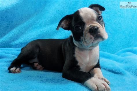 cheap boston terrier puppies for sale near me boston terrier puppy for sale near knoxville tennessee d0c3cb81 f7e1