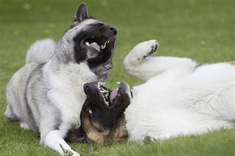 why do dogs yawn why do dogs yawn the contagious yawn in