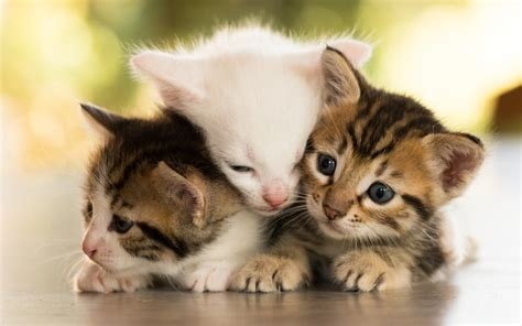 wallpaper chat lucu cute kitties hd wallpapers pictures images of litle pups