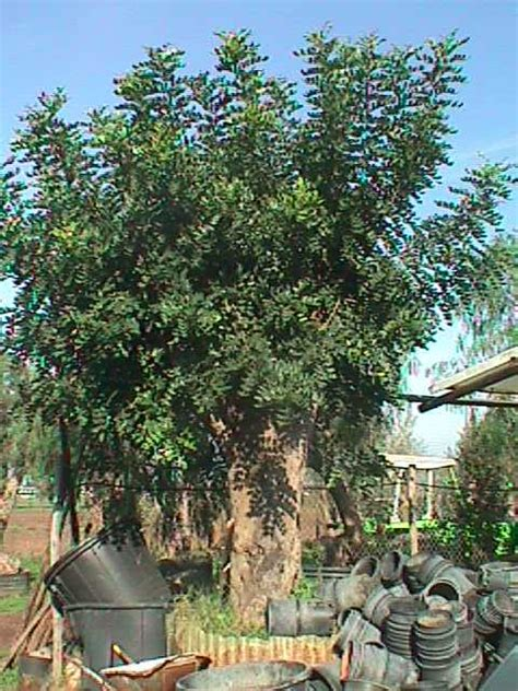 armeni giardini carrubo