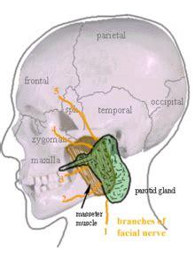 glande parotide parotide
