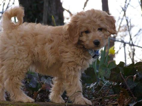 mini doodle iowa mini goldendoodle style by choice