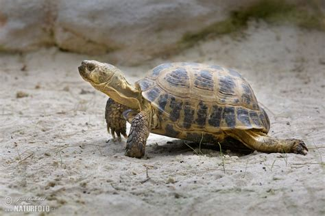 russian tortoises russian tortoise pictures russian tortoise images