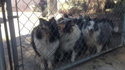 61 shelties surrendered after house fire up for adoption
