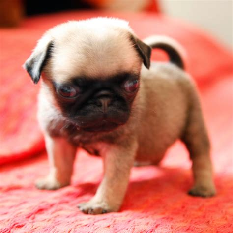 photos of baby pugs pugs