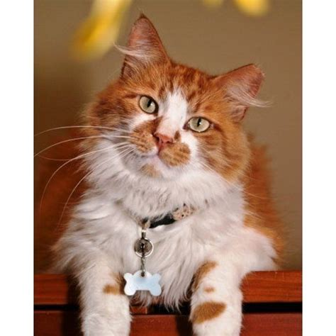 maine coon cat adoption fair adopt a pet pinterest