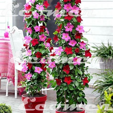 gelsomini in vaso piante e fiori piante da giardino piante da balcone 2
