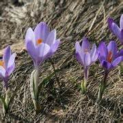 fiori di croco croco bulbi