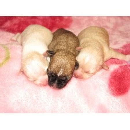 free puppies in dayton ohio s heavenly chihuahuas chihuahua breeder in dayton ohio