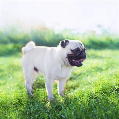 non barking non barking breeds