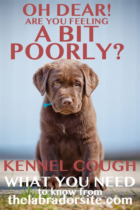 how do dogs get kennel cough kennel cough in labradors the labrador site
