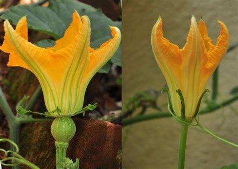 pumpkin flowers female  male  vines